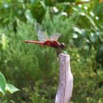 Sarawak dragonfly