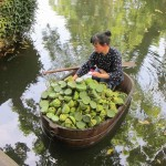 Lotus seller, Suzhou
