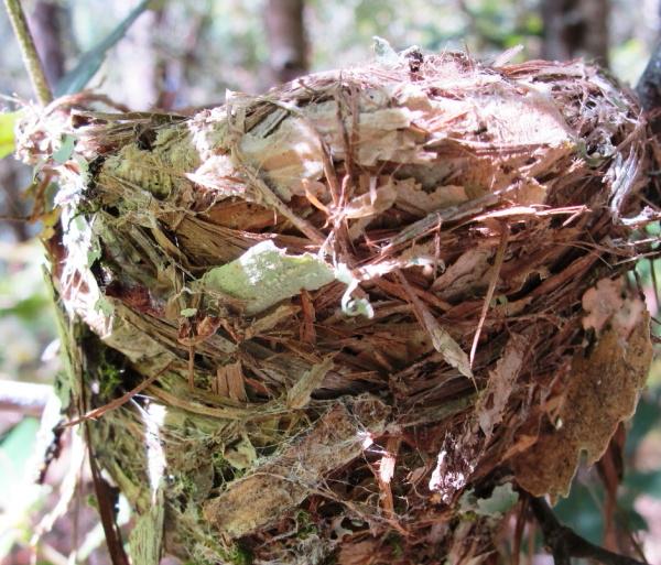 Eastern Robin's nest