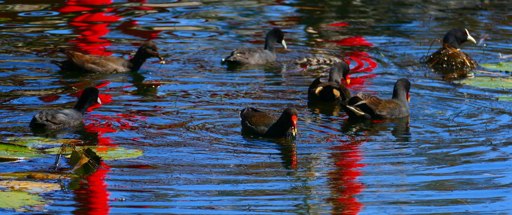 Moorhens and Coots_Coffs BG