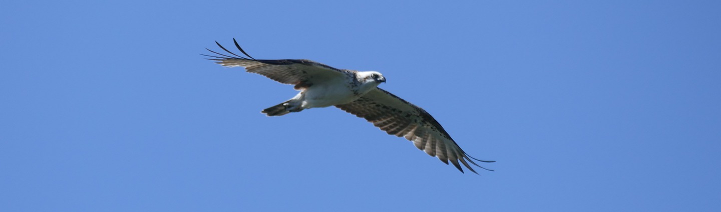 Osprey, Oct 14, Capt Cook's Lookout