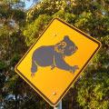 Koala hunt, Toormina