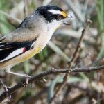 Striated Pardalote Terry_Evans
