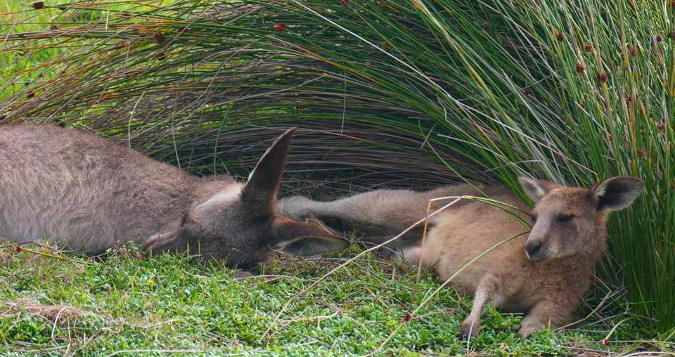Tired roos