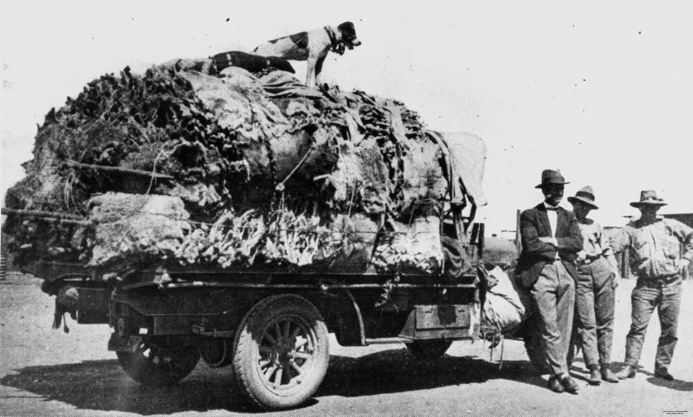 Truck load of koala skins in the Clermont area ca. 1927