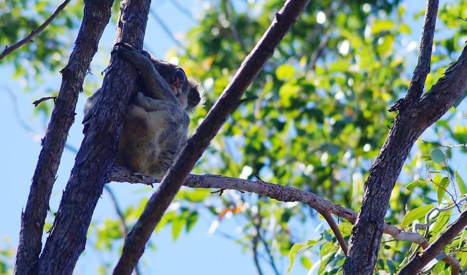 koala_Toormina1339