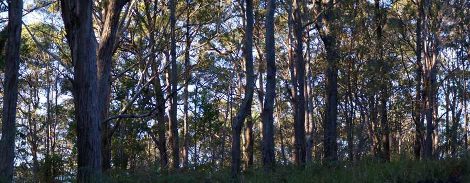 Jagun bush