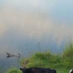 Cows, Bellinger River