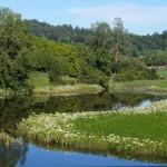 Crinum Lilies, Bellingen