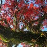 Illawarra Flame tree, Bellingen