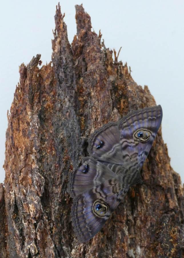 Granny's Cloak Moth, noctuid Speiredonia spectans,_w