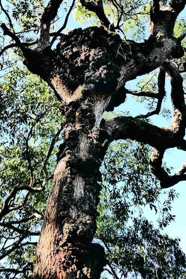 Jagun, old termite nest