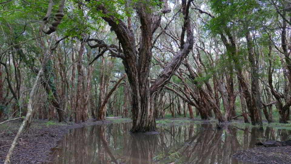 Xmas dawn Paperbark swamp_w