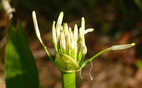 Crinum Lily, Deep Creek