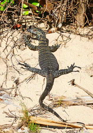 Goanna, Middle Beach