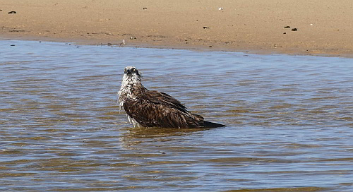 Osprey bathing_1