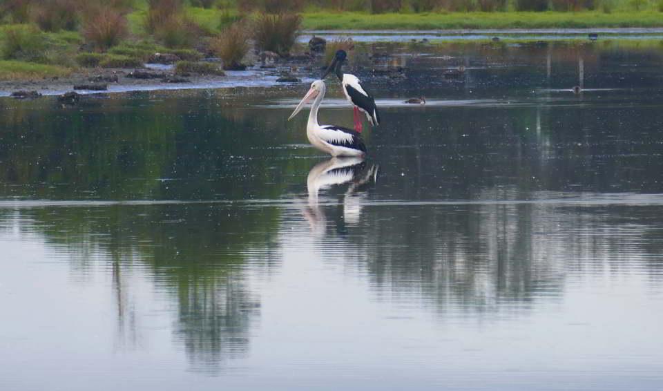 03 02_birding Macleay_Jabiru_standingon_pelican
