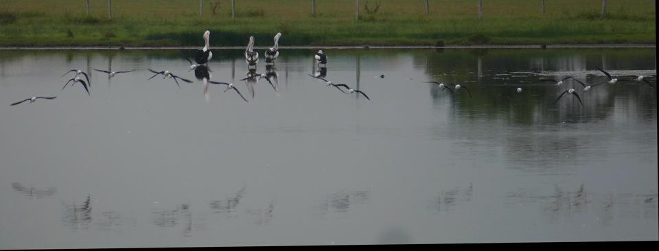 03 02_birding Macleay_Pelicans_Stilts