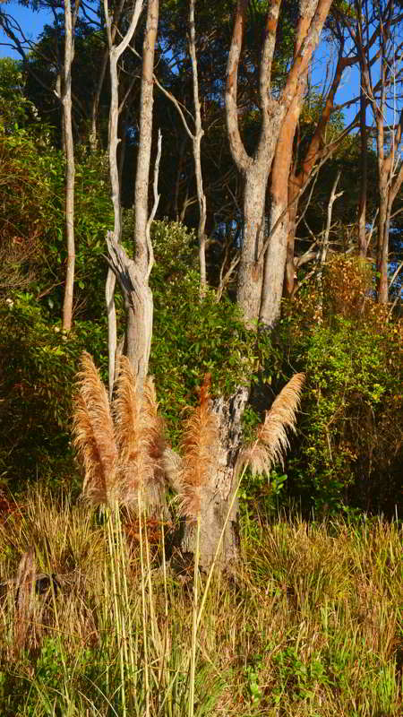 Pampas Grass a beautiful major environmental weed