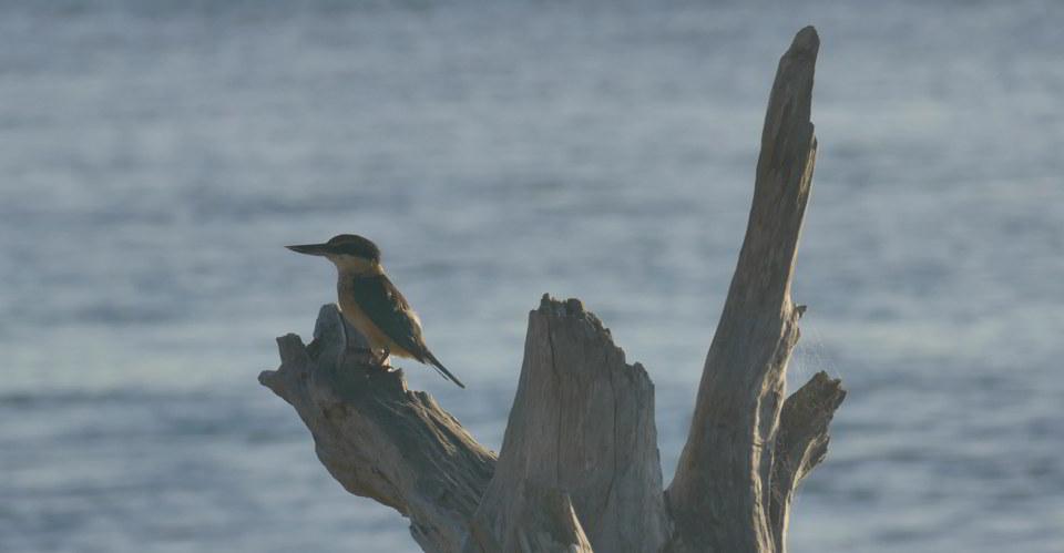 Sacred Kingfisher1