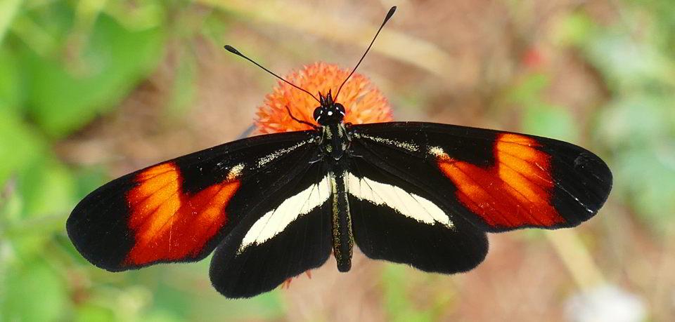 Butterfly Iguazu