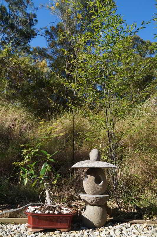 Asian Garden, bonsai, maple, black bamboo