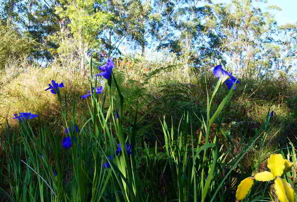 Asian Garden, irises, borrowed garden