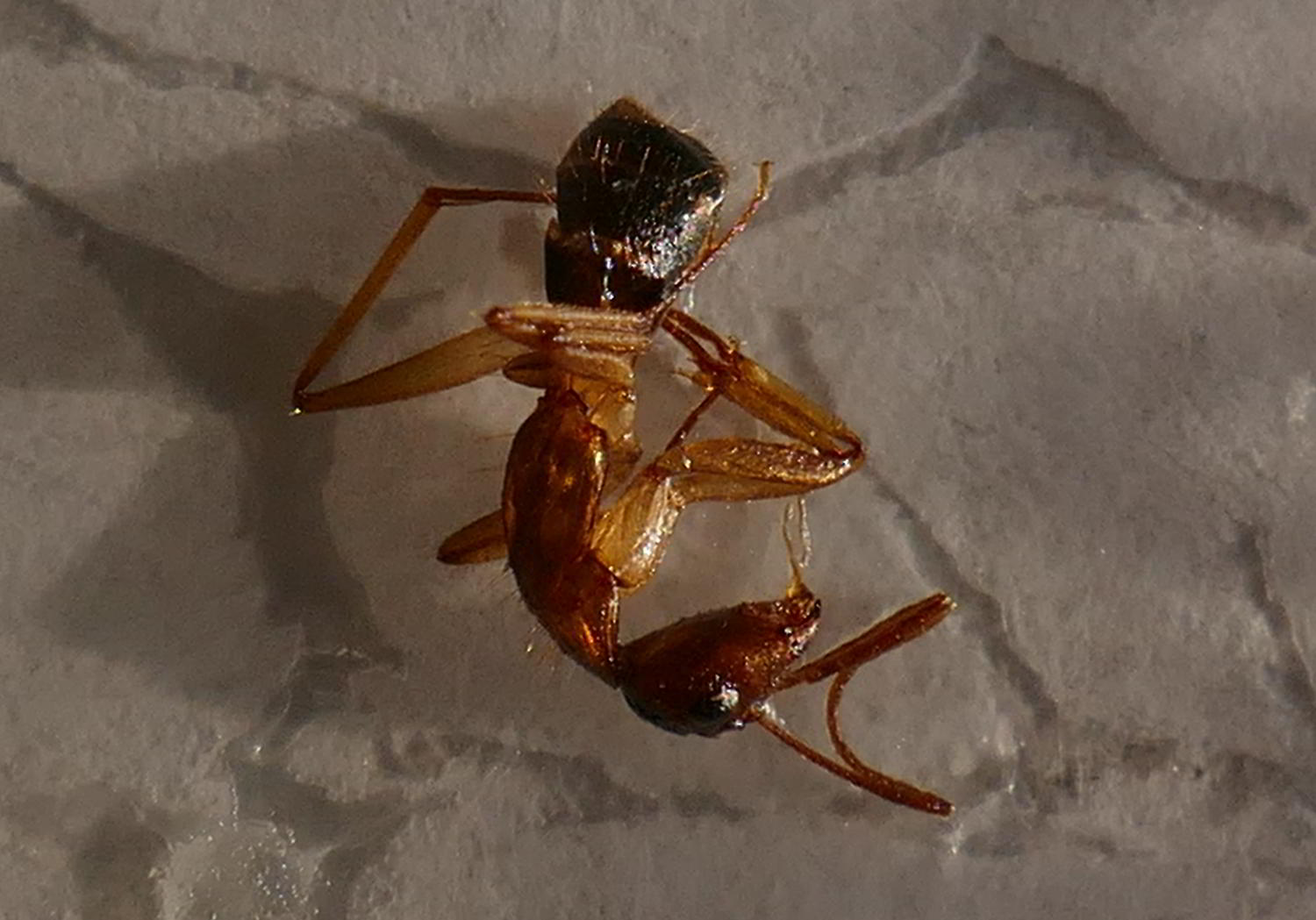 is this a fire ant
