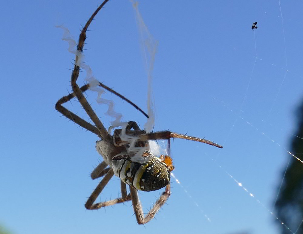 Spider mating