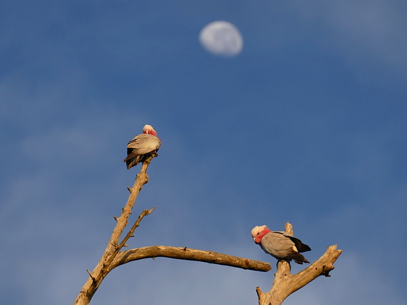 Galahs and moon_Deep Creek