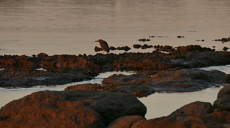 Striaited Heron_Deep Creek_8