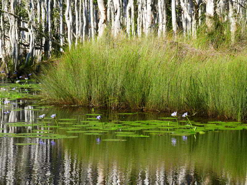 Wetlands Urunga,waterlilies