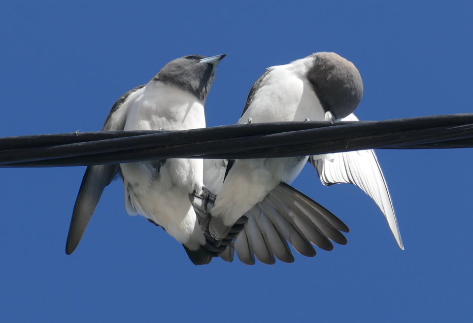 White-breasted Woodswallows1