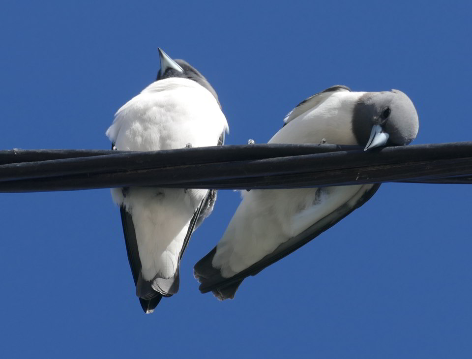 White-breasted Woodswallows3