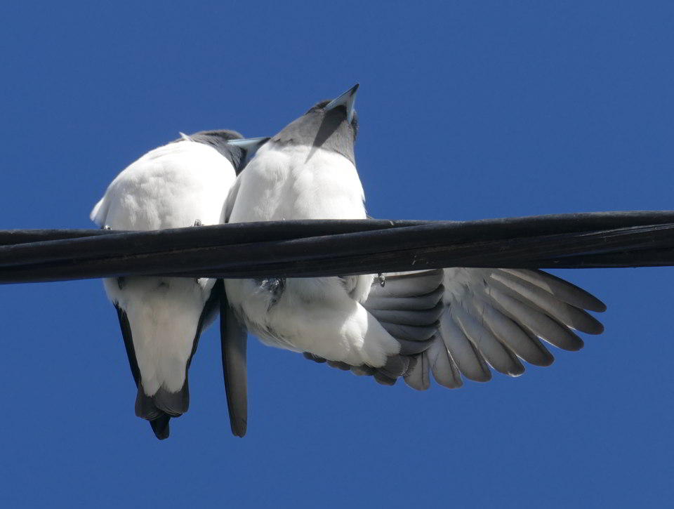 White-breasted Woodswallows4