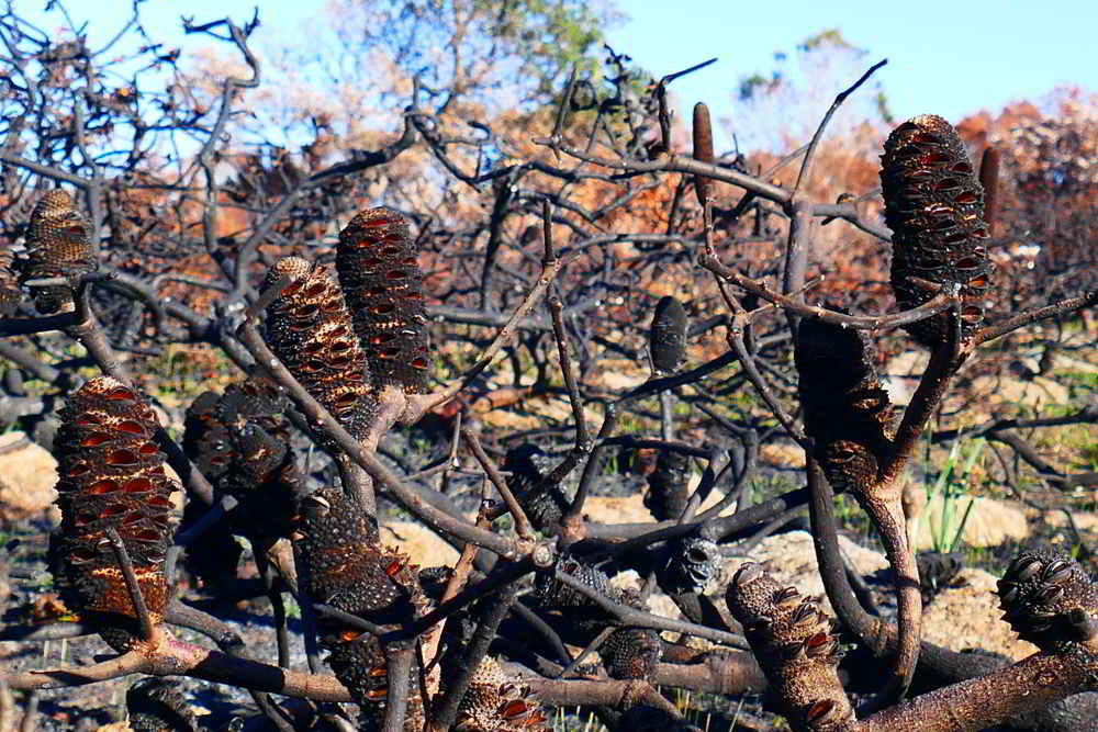 Banksia catching the fire