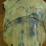 Boyd's studio, horse's skull
