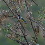 Gouldian Finch, by the Pentacost River