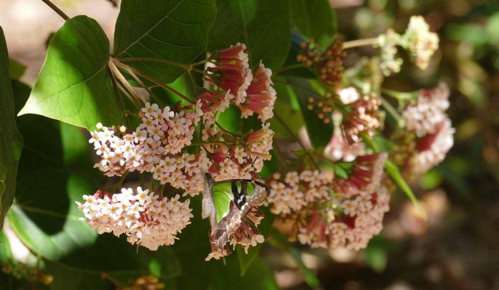 Macleay's Swallowtail_Coffs BG