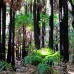 Near Valla Cabbage Palms Smoky Cape