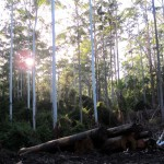 Near Valla Way Way SF logging