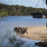 Osprey watching cormorants,