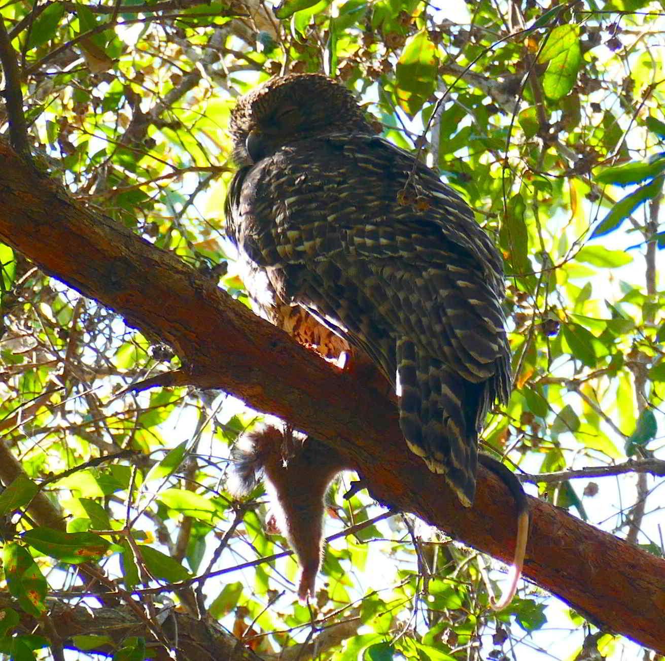 Powerful Owl Sept 1_2