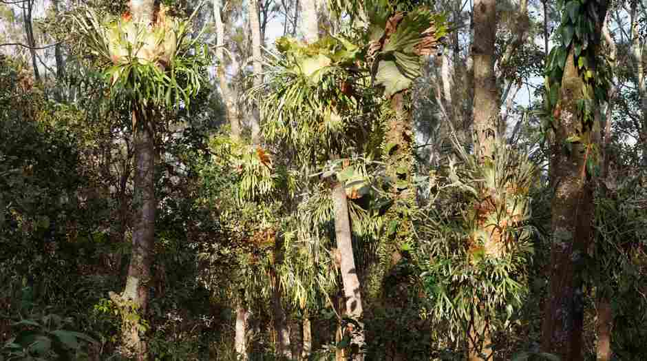 Moonee, littoral rainforest Elkhorns and Staghorns