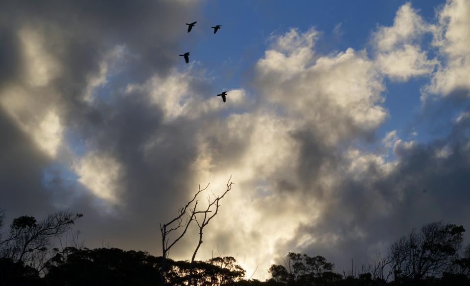 Black Cockatoos sunset Deep Creek
