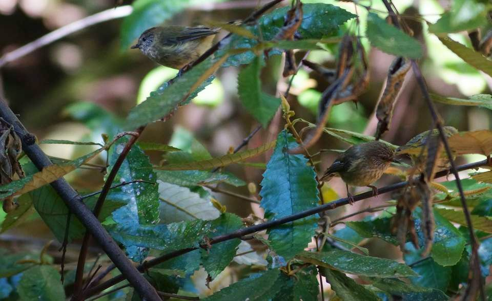 Brown Thornbills