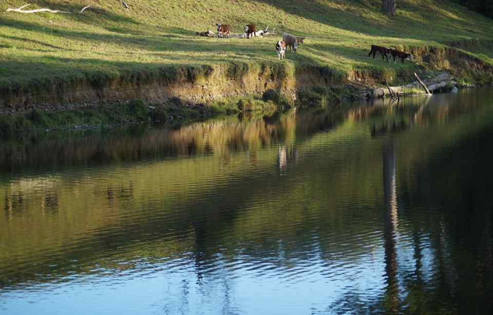 Belinger with cows1