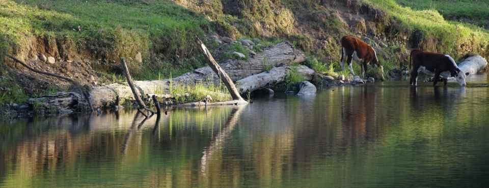 Bellinger River, with cows2