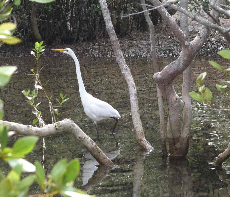 in the mangroves_w1