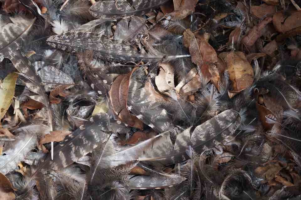 Frogmouth feathers, Jagun